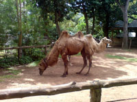 Camels at Colombo Zoo