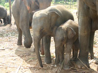 Baby elephants at Pinnawela