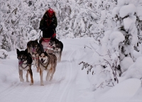 Dog sledding, Yukon Territory